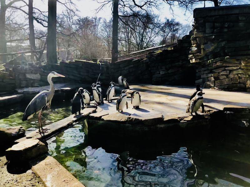 Die Pinguine bekommen manchmal Besuch von ihren gefiederten Freunden auf langen Beinen! Und warum? Weil es im Pinguinbecken (fast) immer frischen Fisch gibt!