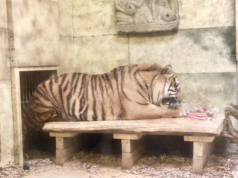 Oje. Wenn man diese scharfen Zähne sieht, hat man plötzlich gar keine Lust mehr, so einen Tiger mal zu streicheln ...