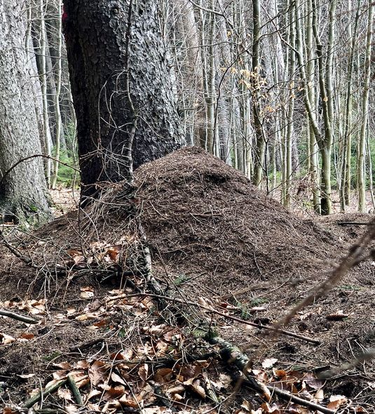Nadelwälder sind für Ameisen ideal, weil sie die Tannennadeln hervorragend als Baumaterial verwenden können.