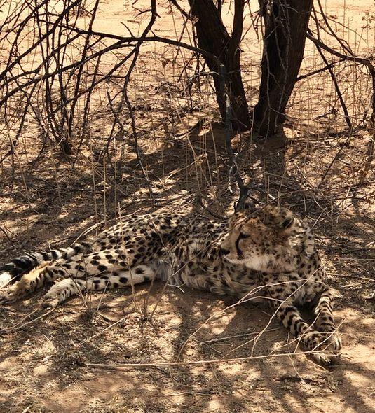 Geparden, die zu jung zum Cheetah Conservation Fund kommen, haben keine Chance, wieder ausgebildet zu werden.