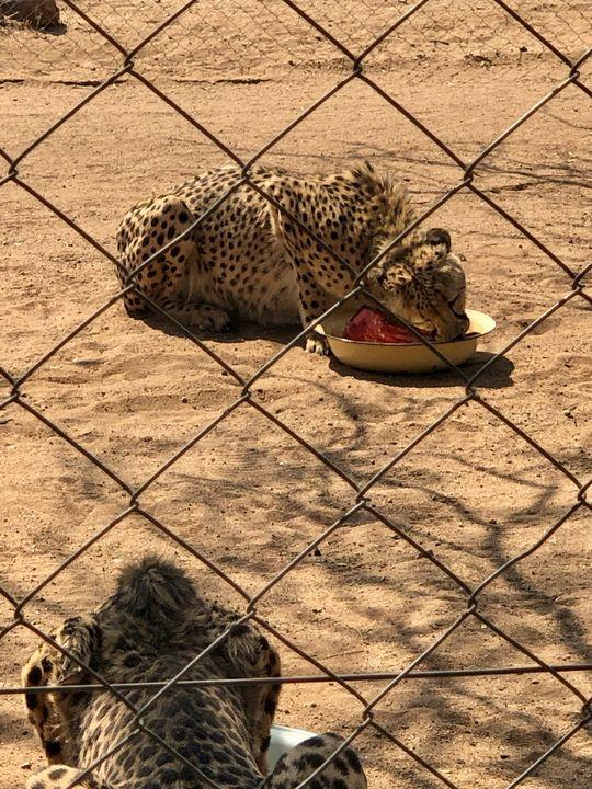 Gute Essmanieren: Jeder Gepard schnappt sich ein Stück Fleisch und verzieht sich damit zu seinem Napf.