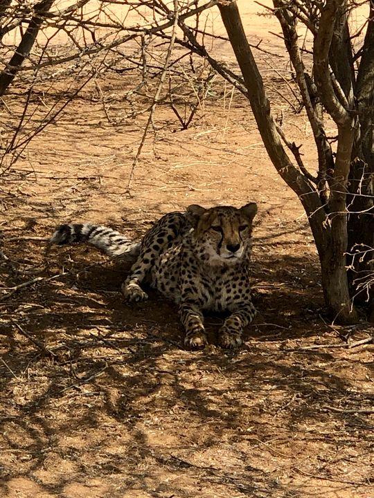 """Nach dem Essen kommt wieder das Geparden-Leben """"as usual"""": Im Schatten der Bäume ausruhen, verdauen und neue Kräfte sammeln."""