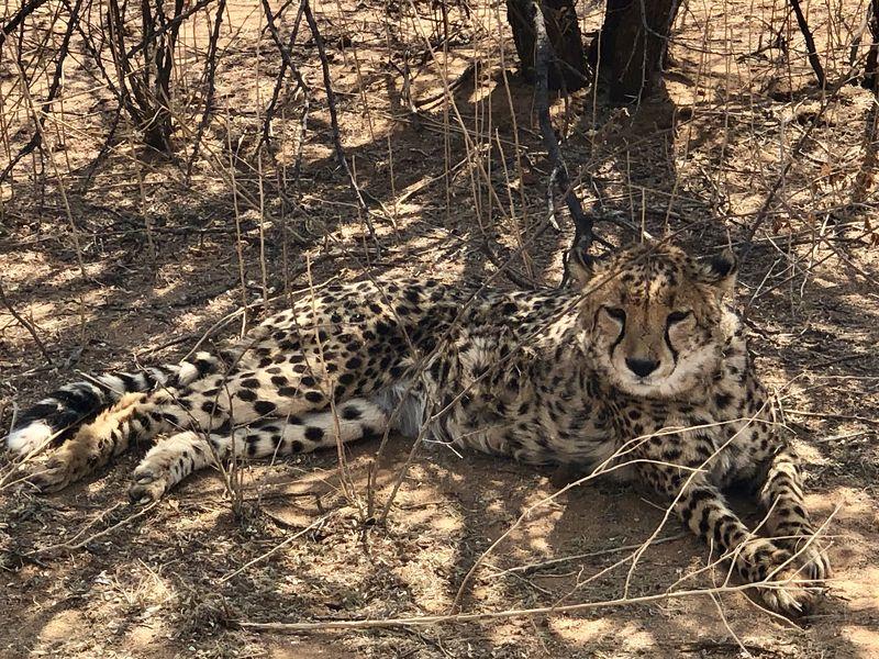 Ist er nicht wunderschön? Geparden sind für mich die coolsten Tiere der Welt!