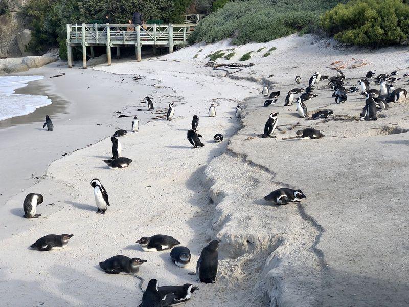 Warum sollen nur die Menschen faul am Strand liegen dürfen? Auch Pinguinen macht das Spaß!