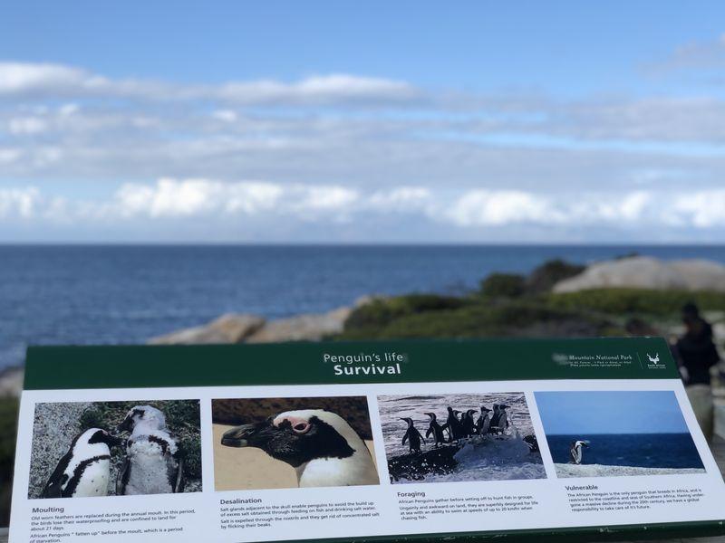 Mit zwei Pinguinen fing es an - inzwischen besiedeln rund 3000 Tiere Boulders Beach.