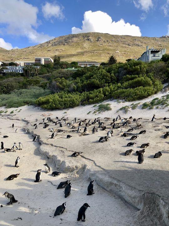 Inzwischen bevölkern so viele Pinguine Boulders Beach, dass es voll wird am Strand.