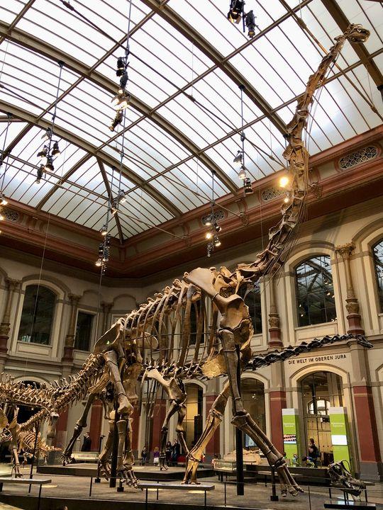 Wir haben eine gute Nachricht für alle Dino-Fans: Selbst wenn T-Rex Tristan Ende des Jahres umzieht, gibt es im Saurier-Saal dennoch Spektakuläres zu sehen wie den mehr als 13 Meter hohen Brachiosaurus brancai.
