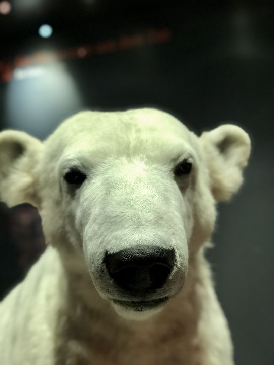 Einst brachte er die Herzen der Besucher im Zoologischen Garten zum Schmelzen: der knuffige Knut. Doch der Eisbär starb mit nur vier Jahren. Sein Präparat ist ebenfalls im Naturkundemuseum ausgestellt.